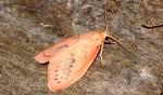 Miltochrista miniata (I)