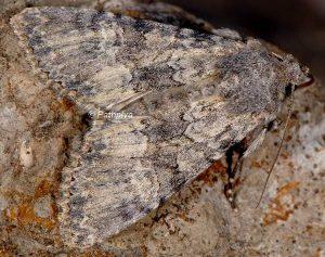 Mniotype anilis