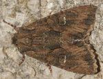 Mniotype solieri (I, L4, L5, P)