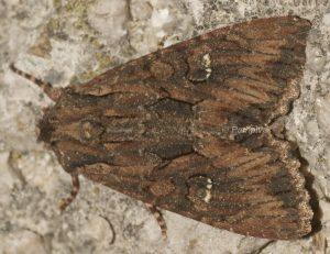 Mniotype solieri 1