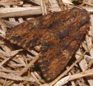 Mniotype solieri 2