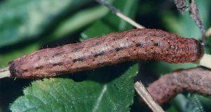 Mniotype solieri L5 3