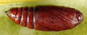 Mniotype solieri