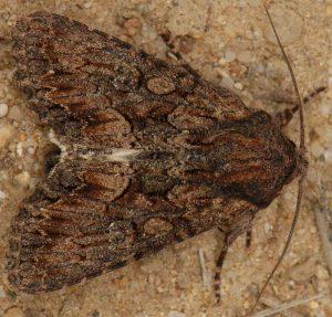 Mniotype spinosa 1