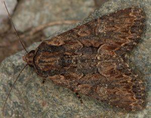 Mniotype spinosa 2