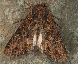 Mniotype spinosa 3
