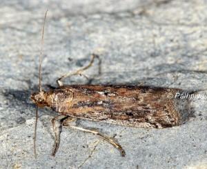 Moitrelia italogallicella 06 1