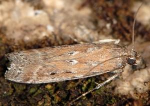 Moitrelia italogallicella 06 3