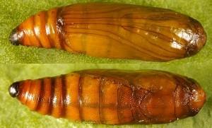Moitrelia italogallicella