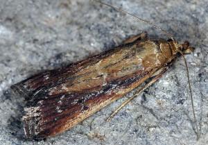 Moitrelia obductella