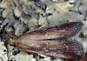 Moitrelia obductella 06 3