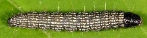 Moitrelia obductella L4 06 2