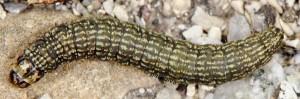 Moitrelia obductella L5 06 1