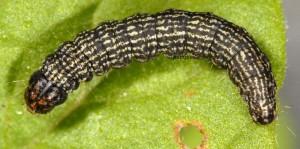 Moitrelia obductella L5 06 5