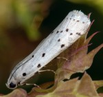 Myelois circumvoluta 06 1