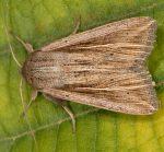 Mythimna riparia (I, L5)