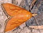 Nascia cilialis 34 1