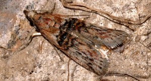 Nephopterix angustella 34 1