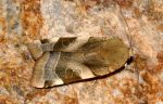 Noctua fimbriata (I, L5)