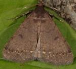 Nodaria nodosalis (I, L5)