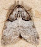 Nola cucullatella (I)