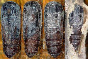 Nola cucullatella chrysalide 06 1