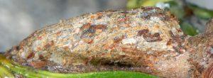 Nola cucullatella cocon 06 1