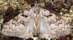 Nola thymula mothironi 1