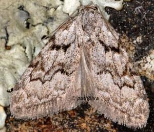 Nola thymula mothironi 2
