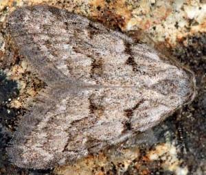 Nola thymula mothironi 4
