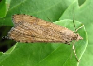 Nomophila noctuella 06 1