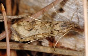 Nomophila noctuella 06 2