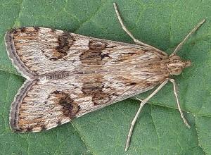 Nomophila noctuella 2B 1