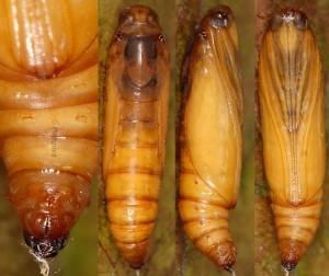 Nomophila noctuella chrysalide 2B 1