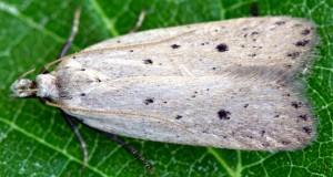 Nothris verbascella femelle GL 015-561