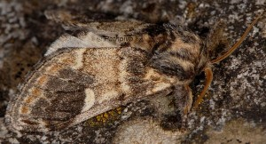 Notodonta tritophus 1