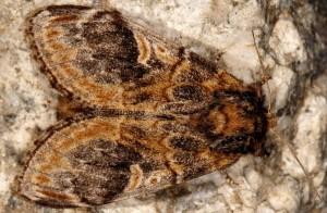 Notodonta tritophus 2
