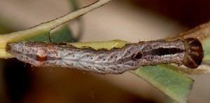 Notodonta ziczac L3 2