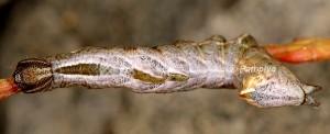 Notodonta ziczac L4 2