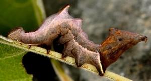 Notodonta ziczac L5 1