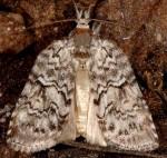 Nycteola columbana (I, L5)