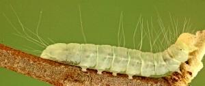 Nycteola columbana L5 3