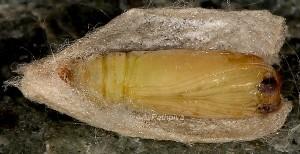 Nycteola siculana p 1