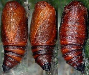 Ochropacha duplaris chrysalide 06 1