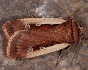Ochropleura plecta 1
