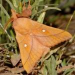 Odonestis pruni (I)