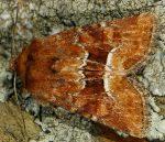 Oligia fasciuncula (I)