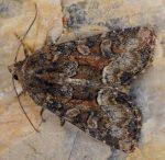 Oligia versicolor (I)