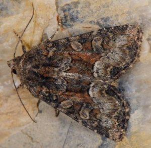 Oligia versicolor