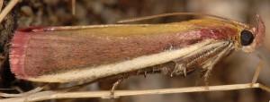 Oncocera semirubella 13 1